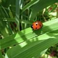 World Of Ladybug 1 by Jean Bernard Roussilhe