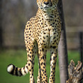 World's Fastest Land Animal by Ron Pate