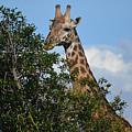 World's Tallest Mammal by Gary Keesler