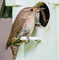 Wren Bringing Home The Bacon by Tim Kathka