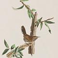 Wren by John James Audubon
