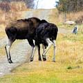 Amorous Moose Wrestling by William Tasker