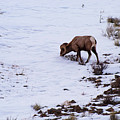 Wyoming Big Horn by Bob Phillips