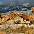Wyoming Big Horn Brawlers Crop by Adam Jewell