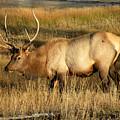 Wyoming Elk by Lindy Pollard
