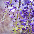 Wysteria by Jim And Emily Bush