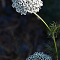 Yarrow In Stages by Josephine Buschman