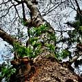 Ye Ole Tree At Chichen Itza by Chris Brannen