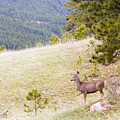 Yearling Mule Deer In The Pike National Forest by Steve Krull