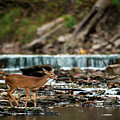 Yearling On Indian Creek by Jeff Phillippi