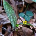 Yelllow Trout Lily 1 by Douglas Barnett