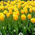 Yelllow Tulip Garden by Wendy Yee