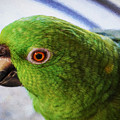 Yellow-naped Amazon Parrot Or Amazona A. Auropalliata by Kenneth Roberts