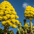 Yellow Aeonium by Rex Wholster