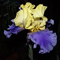 Yellow And Blue Iris by Kathy McClure