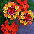 Yellow And Orange Lantana At Pilgrim Place In Claremont-california by Ruth Hager