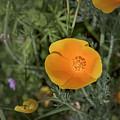 Yellow And Orange Poppy by Jim Thompson
