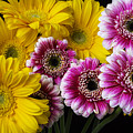 Yellow And Pink Gerbera Daisies by Garry Gay