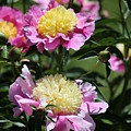 Yellow And Pink Peony by Michael Munster