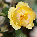 Yellow And Pink Tipped Rose by Theresa Campbell