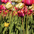 Yellow And Pink Tulips V 2018 by Terry DeLuco