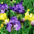 Yellow And Purple Irises by Susan Savad