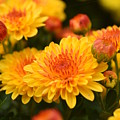 Yellow And Red Autumn Mums Closeup I by Rowena Throckmorton
