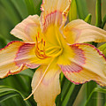 Yellow And Red Lily by Deborah Benoit