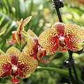 Yellow And Red Spotted Phalaenopsis Orchids by Judy Whitton