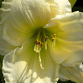 Yellow And White Daylily by William Tasker
