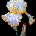 Yellow And White Iris by Dave Mills