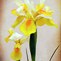 Yellow And White Iris Textured by Terri Waters