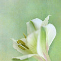 Yellow And White Peruvian Lily by David and Carol Kelly