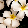 Yellow And White Plumeria by Brian Harig
