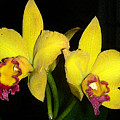 Yellow And Wine Orchids by Deb JAZI Raulerson
