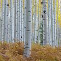 Yellow Aspen Grove by Daniel Dean