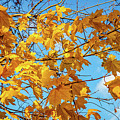Yellow Autumn Leaves 2 by Lilia D