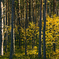 Yellow Autumn Trees In Forest by Sandra Rugina