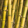 Yellow Bamboo Stalks by Ron Dahlquist - Printscapes