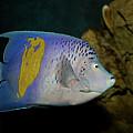 Yellow Bar Angelfish by Aivar Mikko