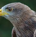 Yellow-beaked Kite by David Ramage