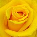 Yellow Beauty by Mg Blackstock