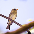 Yellow Bellied Flycatcher - Magee Marsh, Ohio by Jack R Perry