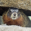 Yellow Bellied Marmot by Cindy Murphy - NightVisions