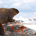 Yellow-bellied Marmot Enjoying The Mountain View by Max Allen