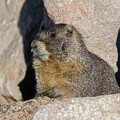 Yellow-bellied Marmot Poses For Pictures by Tony Hake
