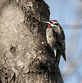Yellow-bellied Sapsucker by Eric Abernethy