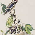 Yellow Bellied Woodpecker by John James Audubon