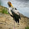 Yellow Bill Stork by Joseph G Holland