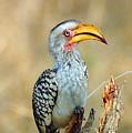 Yellow-billed Hornbill by Stiaan Els